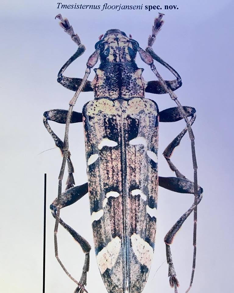 Nightwish Beetle